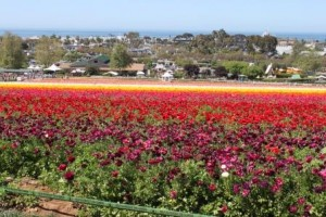 Carlsbad Flower Fields - by Jennifer K