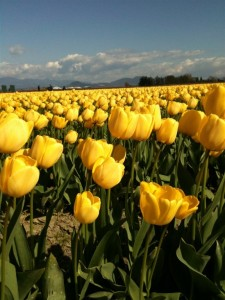 La Conner Yellow Tulip_WA