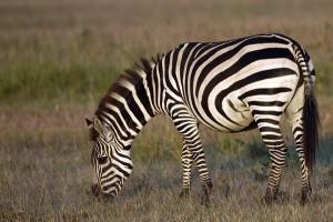 Todd zebra
